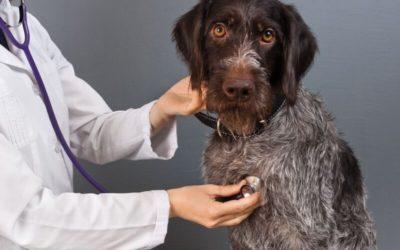 Erste Hilfe beim Hund – 5 Schritte, die im Notfall Leben retten