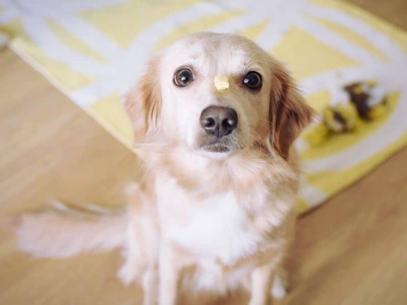 Hunde beschäftigen drinnen frustrationstoleranz