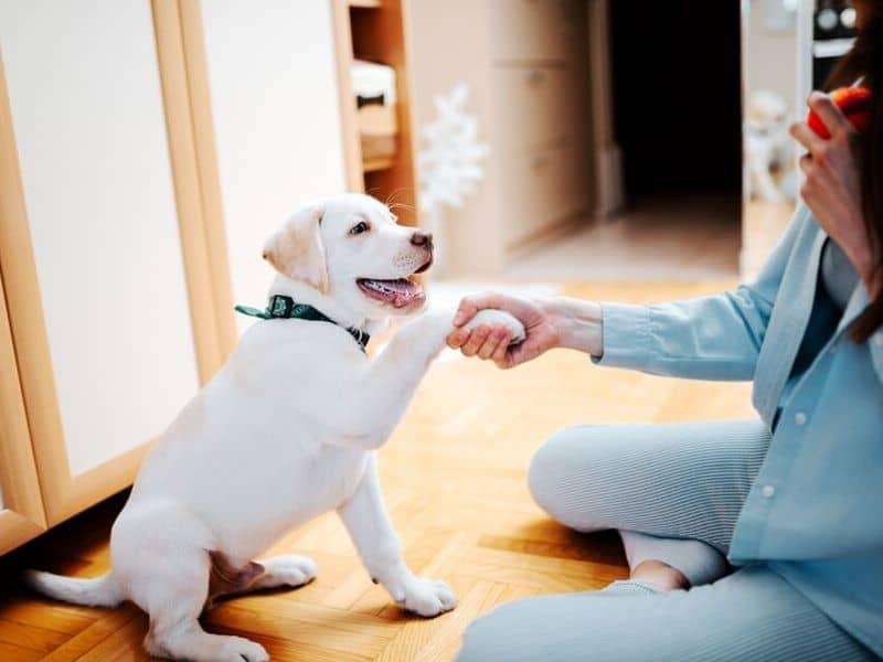 Hunde beschäftigen drinnen pfote geben