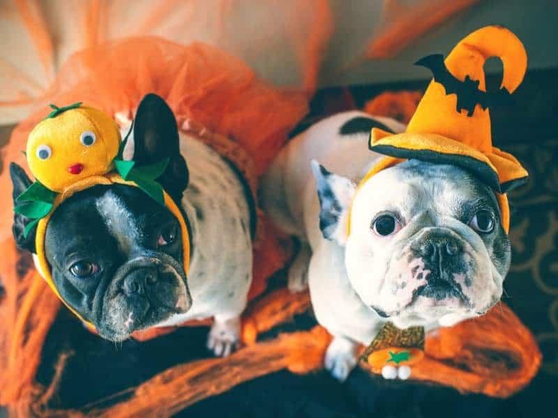 Halloween Hunde Kostüm Tibeo Tierbetreuung