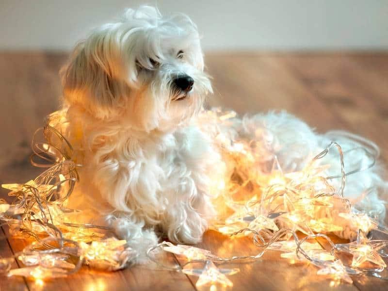 Gefahren Advent Hund Katze Lichter