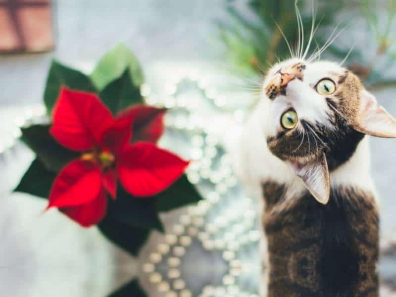 Gefahren Advent Hund Katze Weihnachtsstern