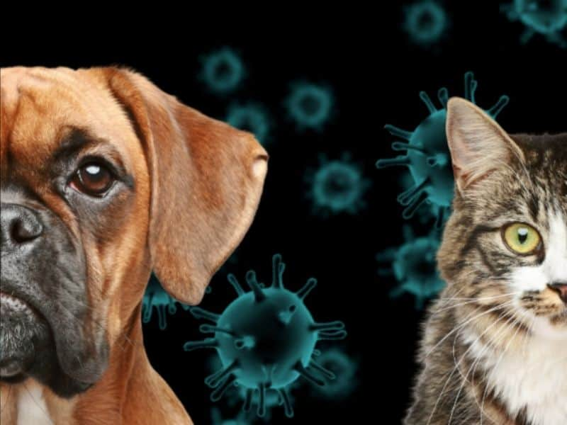 Coronavirus gefährlich hund katze