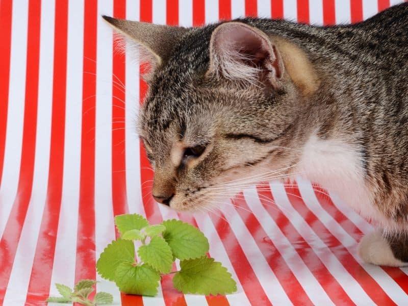 Wächst Katzengras Nach